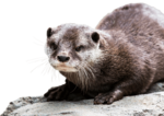 Otter Background PNG icon png