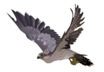 Peregrine Falcon PNG Image icon png