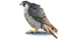 Peregrine Falcon PNG Photo icon png