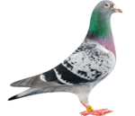 Pigeon Transparent PNG icon png