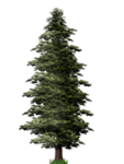 Pine Tree PNG File icon png