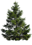Pine Tree PNG Image icon png
