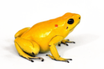 Poison Dart Frog Download PNG Image icon png