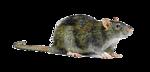 Rat Transparent Background icon png