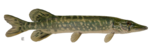 Real Fish PNG Picture icon png