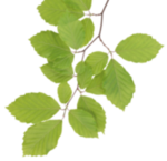 Real Leaves PNG Clipart icon png