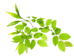 Real Leaves PNG Image icon png