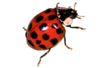 Red Ladybug PNG Transparent Image icon png