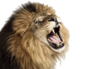 Roaring Lion PNG Photos icon png