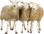 Sheep PNG Download Image icon png