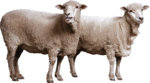 Sheep PNG File Download Free icon png