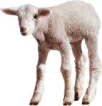 Sheep PNG Transparent Images icon png