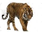 Siberian Tiger Transparent Background icon png
