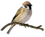 Sparrow PNG File icon png