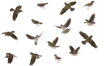 Sparrow PNG Image icon png