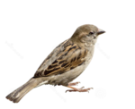 Sparrow PNG Picture icon png