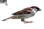 Sparrow PNG Transparent Image icon png