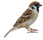 Sparrow Transparent Images PNG icon png
