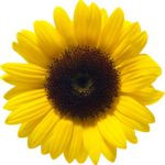 Sunflower PNG File icon png