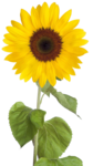 Sunflower PNG Free Download icon png