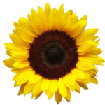 Sunflower PNG HD icon png