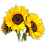 Sunflower PNG Photos icon png