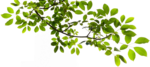 Tree Branch Transparent PNG icon png