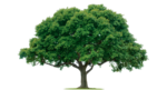 Tree PNG Photos icon png