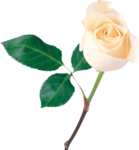 White Rose icon png